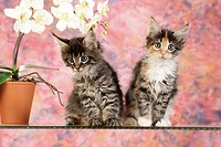 Maine Coon cat _ two kittens sitting next to orchid