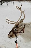 Reindeer at Joiku's Kota, Sami-hut, Ivalo, Lapland, Finland, Europe