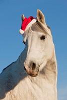 German Riding Pony with Santa claus cap