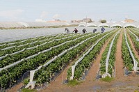 Strawberry fields, Palos de la Frontera, Huelva province, Andalusia, Spain