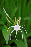 Spider lily  Scientific name: Hymenocallis littoralis  Bintan island, Indonesia
