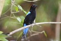 Asian fairy bluebird at Langkawi Bird Paradise  Scientific name: Irena puella  Langkawi island, Malaysia