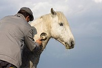 Guardian brushing Camargue horse, Camargue, Southern France, Europe
