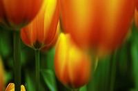 Didier's Tulip (Tulipa gesneriana), Keukenhof, Netherlands, Europe