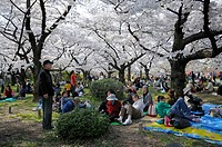 Japanese people celebrating the Cherry Blossom Festival under blossoming cherry trees in the botanical gardens, Kyoto, Japan, Asia