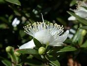 myrtle Myrtus communis, flower