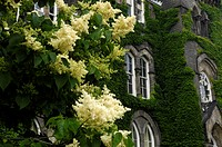 Flowering white lilac tree in front of an old Victorian building covered in green ivy