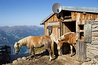 Haflinger horses in the Zillertal Mountains, Zillertal Valley, Austria, Europe