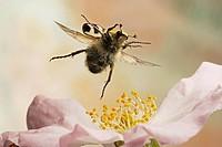 Bee beetle (Trichius fasciatus), Saxony-Anhalt, Germany