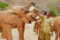 Keepers feeding young African Bush Elephants (Loxodonta africana) with milk, rearing station of the David Sheldrick Wildlife Trust, Tsavo East Nationa...