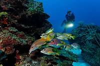 Scuber Diver with a torch observing a school of Dogtooth Snapper or Schoolmaster or Schoolmaster Snapper fish (Lutjanus apodus) in a coral reef, barri...