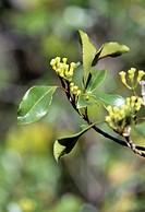 Clove buds on a branch