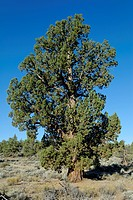 1000 year old Western or Sierra Juniper Juniperus occidentalis var. occidentalis, Ancient Juniper Trail, Badlands Wilderness Area, Oregon, USA