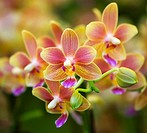 Pink Yellow Spotted Orchids Close Up Macro Hong Kong Flower Market