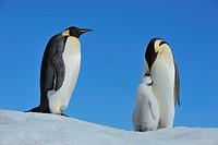 Tier,Tiere,Vogel,Voegel,Pinguin,Pinguine,Kaiserpinguin,Kaiserpinguine,Hochformat,Antarktis,antarktisch,Polargebiet,Polargebiete,Querformat,Wildlife,Wi...