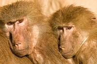 Tier,Tiere,Saeugetier,Saeugetiere,Affe,Affen,Primaten,Herrentier,Herrentiere,Altweltaffe,Altweltaffen,Schmalnasenaffe,Schmalnasenaffen,Hundsaffe,Hunds...