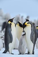 Tier,Tiere,Vogel,Voegel,Pinguin,Pinguine,Kaiserpinguin,Kaiserpinguine,Hochformat,Antarktis,antarktisch,Polargebiet,Polargebiete,Querformat,Verhalten,T...