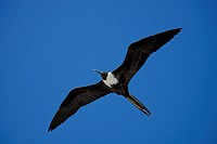 magnificent frigate bird Fregata magnificens, flying female, Ecuador, Galapagos