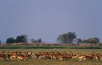 lechwe Kobus leche leche, herd in habitat, Zambia, Kafue National Park