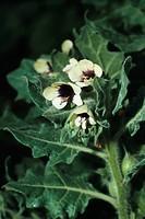 Russian henbane Hyoscyamus albus, blooming plant, Canary, Tenerife