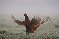 common pheasant, Caucasus Pheasant, Caucasian Pheasant Phasianus colchicus, showing courtship behaviour on a meadow with hoar frost, Germany, North Rh...