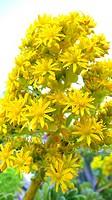 Aeonium Aeonium arboreum, blooming, Spain, Majorca, Alcudia