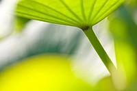 East Indian lotus Nelumbo nucifera, structure of a leaf in backlight