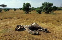 African elephant Loxodonta africana, dead individual, Kenya, Masai Mara National Park