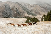 herd of horses in the Tienschan Mountains, Kazakhstan, Tienschan, Bayankol