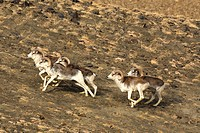 Marco Polo argali, argali, arkhar Avis ammon polii, feeing herd, Tajikistan, Pamir Mountains, Pamir Plateau