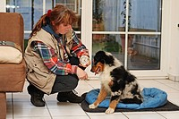 Australian Shepherd Canis lupus f. familiaris, woman putting alarm clock under dog basket of puppy
