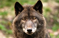 timber wolf Canis lupus lycaon, portrait