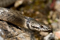 hooded snake, false smooth snake Macroprotodon brevis, portrait, Spain, Andalusia, Donana Nationalpark