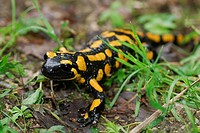 European fire salamander Salamandra salamandra, on forest floor
