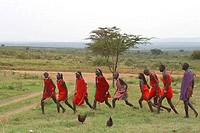 Masai warriors perform a welcome dance for tourists who have paid to visit their tribal village in the Masai Mara Kenya East Africa