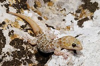 Turkish gecko, Mediterranean gecko Hemidactylus turcicus, with regenerated tail, Greece, Peloponnes, Messinien, Pylos