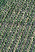 grape_vine, vine Vitis vinifera, grapevines, Germany, Rhineland_Palatinate