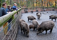 wild boar, pig, wild boar Sus scrofa, family feeding wild boars on the Hohenstein in autumn, Germany, North Rhine_Westphalia, Ruhr Area, Witten