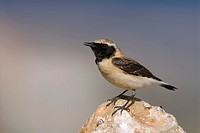 Eastern Black_eared Wheatear Oenanthe melanoleuca, sitting on a stone, Greece, Samos