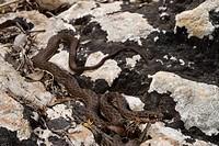 Montpellier snake Malpolon monspessulanus insignitus, juvenile, Greece, Peloponnes, Messinien, Pylos