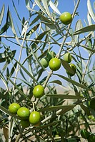 Beautiful green olive field macro detail over blue sky