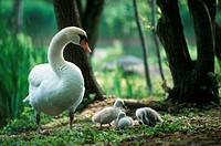 mute swan Cygnus olor, parental animal with chicks, Germany