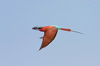 Southern carmine bee eater Merops nubicoides, flying with caught insect, Namibia, Sambesi River, Kaliizo