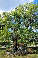 oak Quercus spec., Rumskulla Oak, Kvill Oak, oldest tree of sweden, Sweden, Smaland, Rumskulla