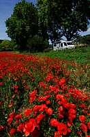 Poppies in front of a caravan, Provence, France, Europe