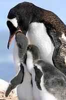 gentoo penguin Pygoscelis papua, Penguin with chicks, Antarctica, Chile