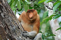 proboscis monkey Nasalis larvatus, male, Indonesia, Borneo, Tanjung Puting National Park