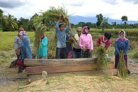 Women banging rice plants against a board to free the rice, Lombok Island, Lesser Sunda Islands, Indonesia, Asia
