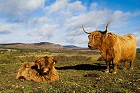 Highland cow CATTLE ANIMAL Scottish Highland cattle cow and calf in field Kingussie