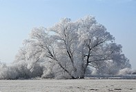 white willow Salix alba, group of trees with hoar frost, Germany, Bavaria